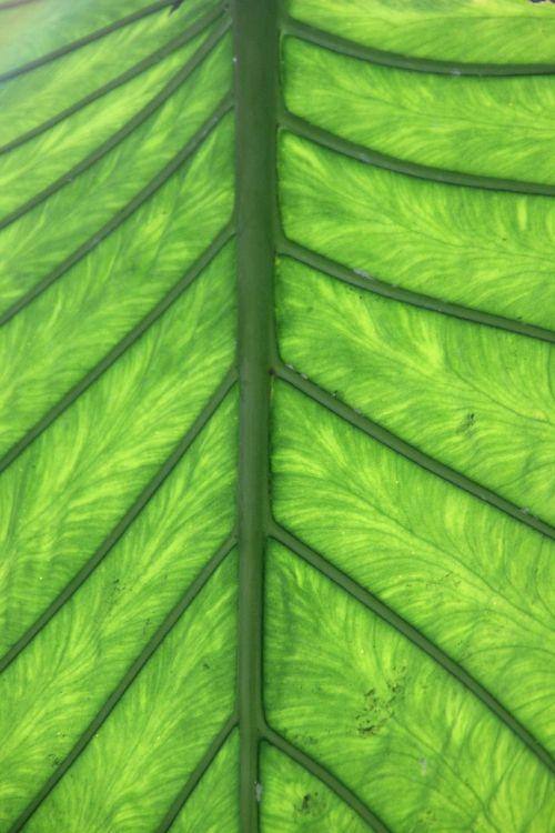 leaf green leaf veins