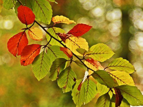 leaf color leaves