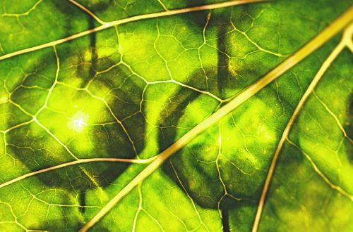 leaf green durchleuchted