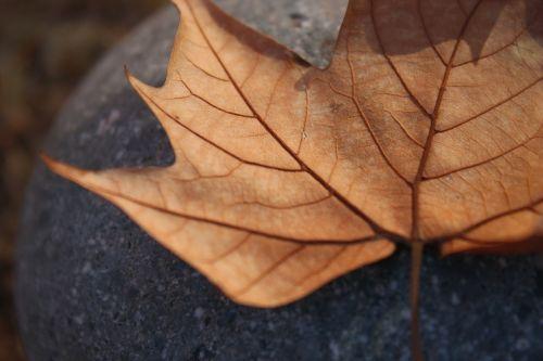 leaf autumn dry leaf