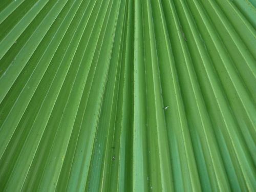 leaf leaflets palm tree