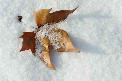 leaf snow winter