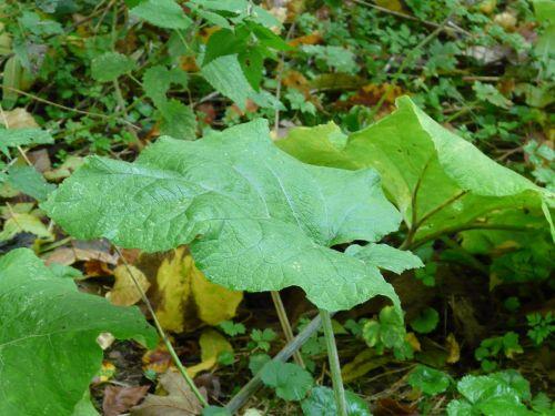 leaf large green