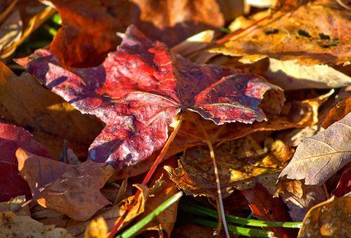 leaf leaves sweet gum