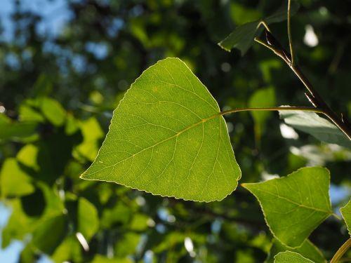 leaf poplar leaf leaf veins