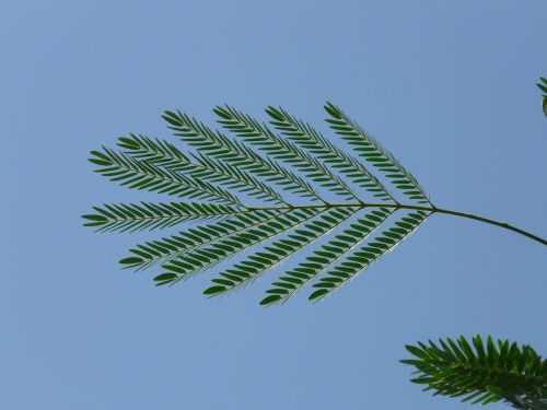 leaf wedel acacia