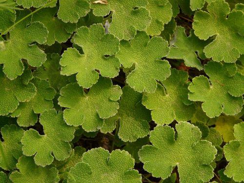 leaf green plant