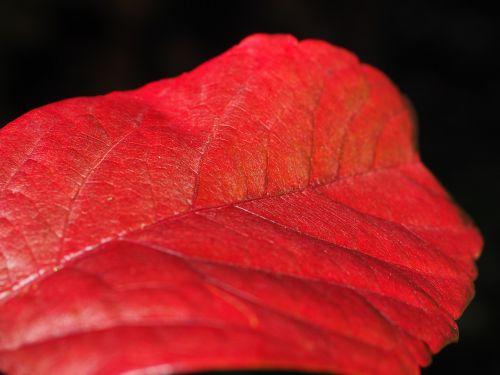 leaf red ordinary jungfernrebe