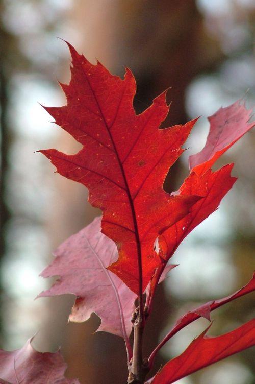 leaf maple leaf red