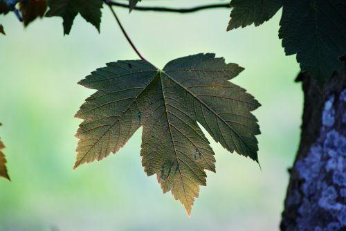 leaf bark sweetness