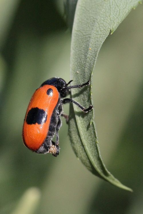 leaf beetle egg laying
