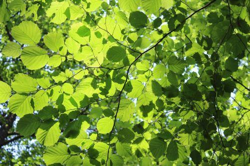 leaf solar rays of sunshine