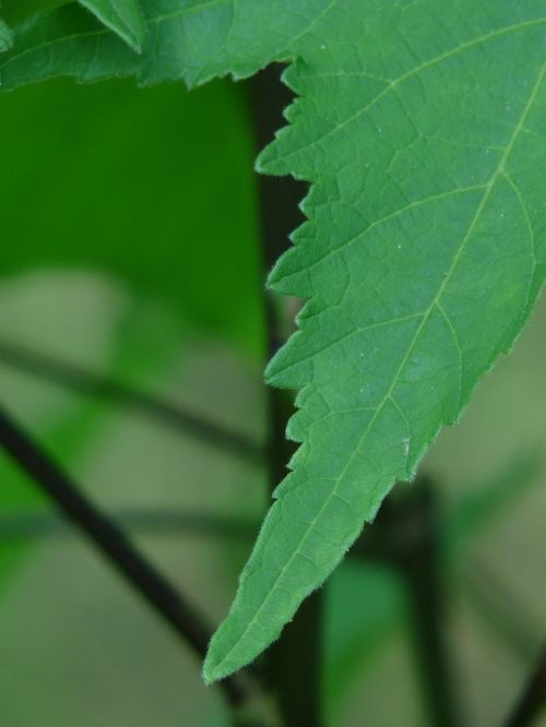 leaf abutilon ornamental plant