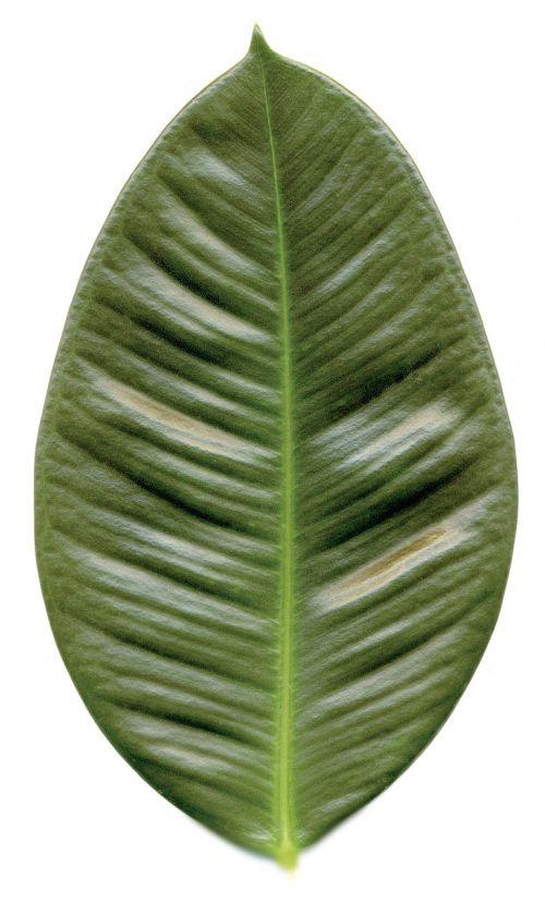 lapai,gumos medis,žalias,gamta,Iškirpti,guma,augalas,vienas,solo,medis
