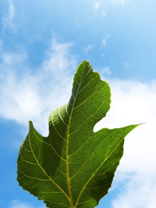 leaf fig tree sky
