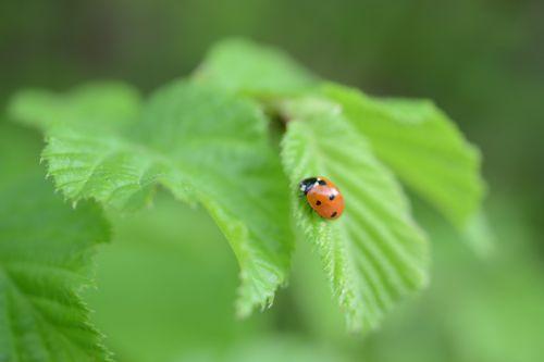 leaf ladybug green