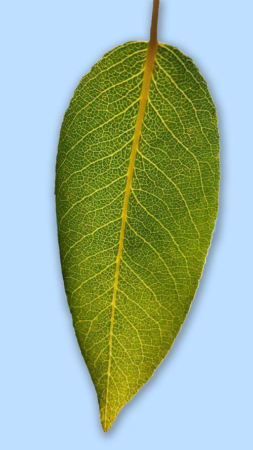 leaf pear leaf blattstrucktur