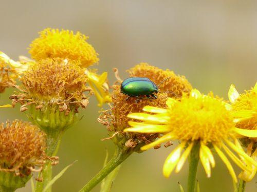 leaf beetle oreina cacaliae green