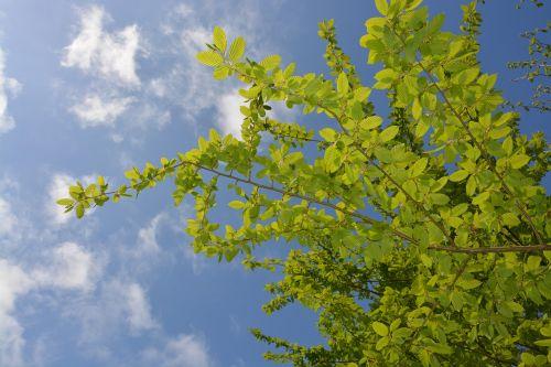 leaf charm bower tree