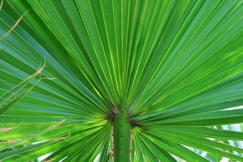 Leaf Of Fan Palm