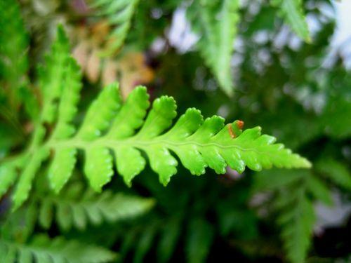 Leaf Of Simple Fern