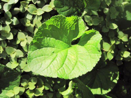 Leaf Of Violet