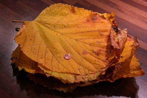 leaf pile elm leaves mountain elm