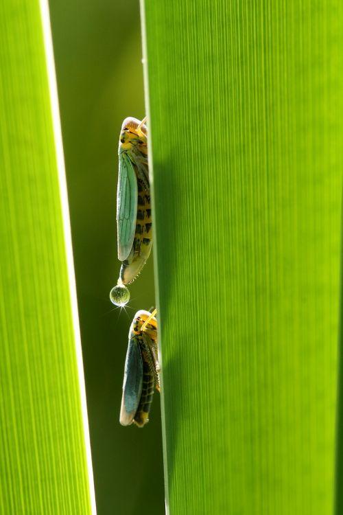 leafhopper cicadella viridis small cigalle