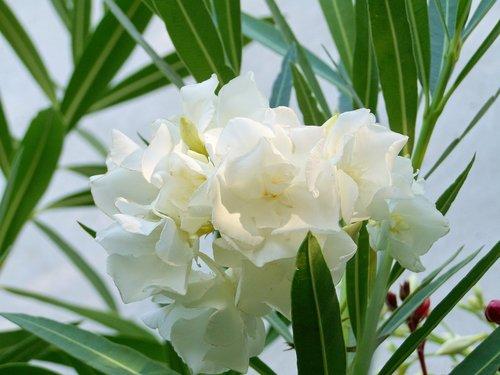 leander  tropical plants  white-flowered