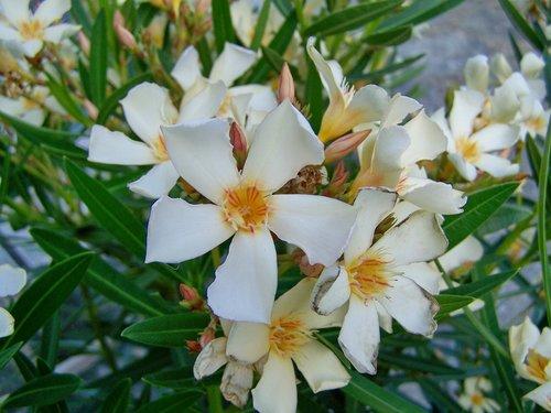 leander  white-flowered  mediterranean plants