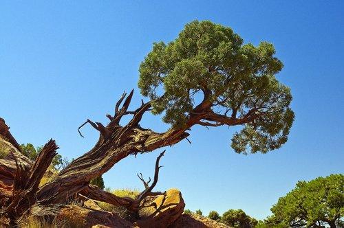 leaning gnarled utah juniper  juniper  gnarled