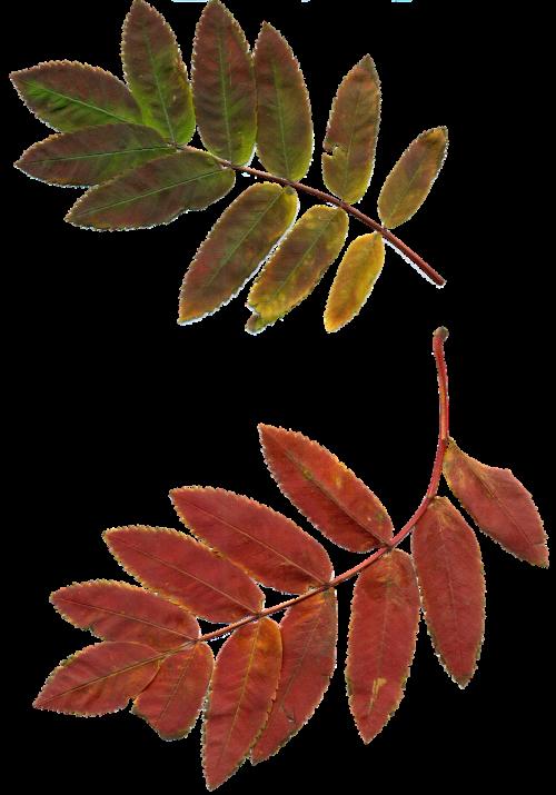 leaves autumn leaves rowan