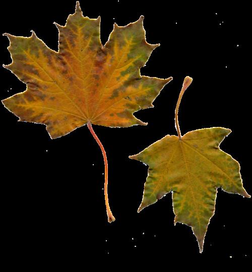 leaves sheet maple