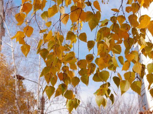 leaves birch yellow