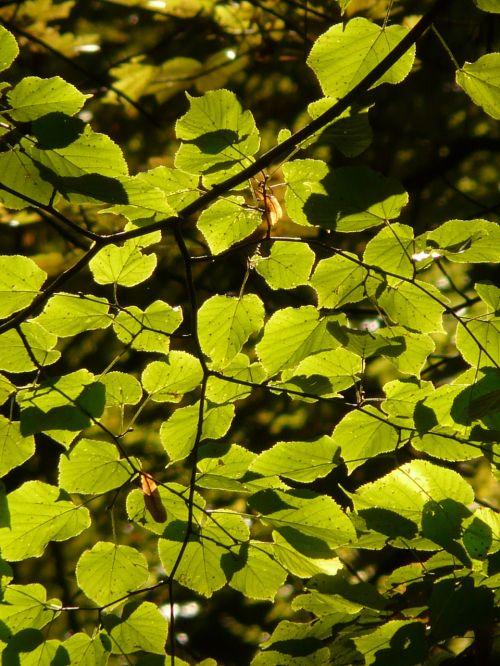 lapai,atgal šviesa,žalias,medis,filialas,saulės šviesa,šviesa,švyti per,linda,lipovina