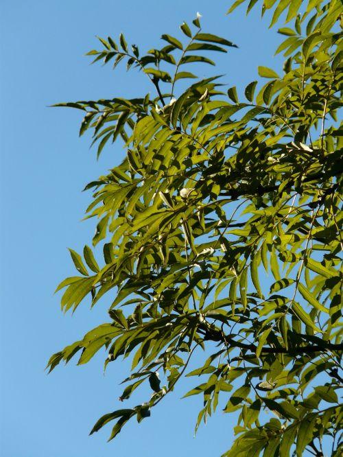 lapai,pelenai,medis,filialai,žalias,bendri pelenai,įprasti pelenai,aukštas pelenai,fraxinus excelsior,lapuočių medis