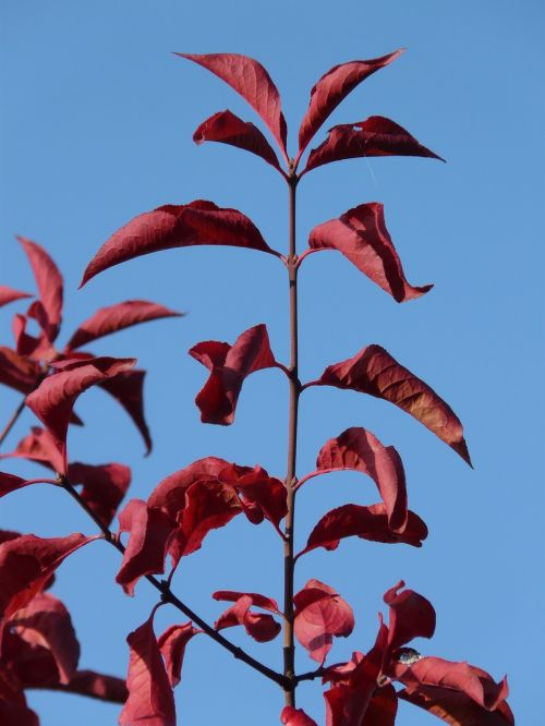 leaves red coloring