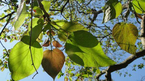 leaves tree catalpa