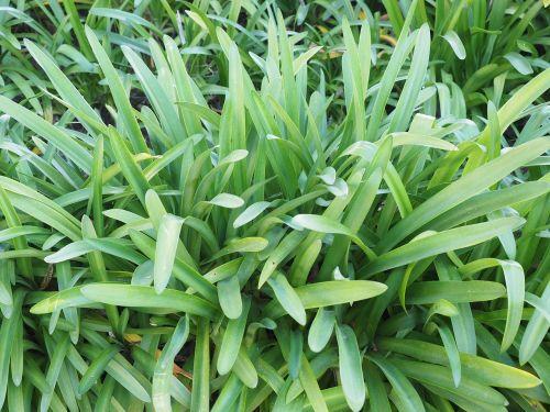 leaves growth habitus
