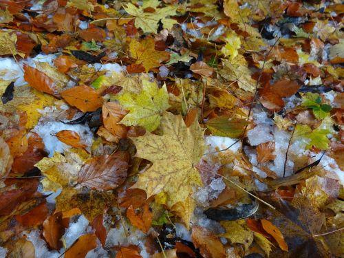 leaves fall foliage leaf