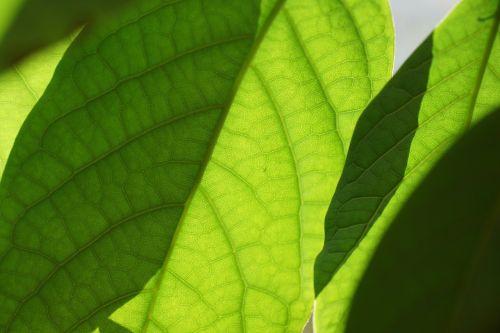 leaves green mango