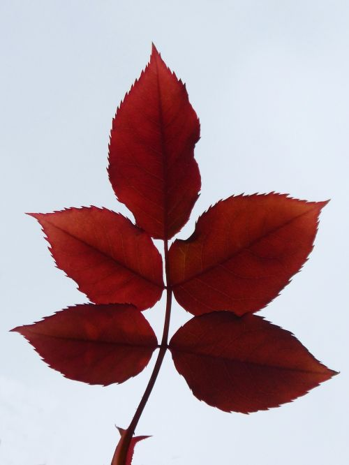 leaves zarza red