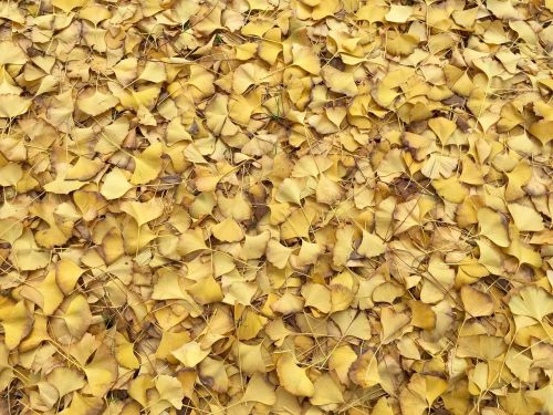 leaves,yellow,fall,autumn,texture,pattern,floor,background,same,nature,fall leaves,autumnal,ginkgo,ginkgo biloba,fan,deciduous,season,decorative,october,maidenhair tree,fallen,seasonal