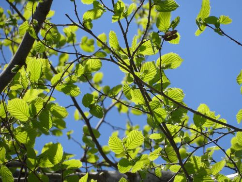 leaves foliage spring