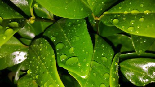 leaves shrub green