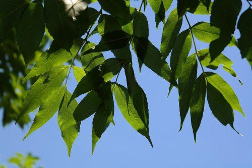 lapai,žalias,medis,pelenai,bendri pelenai,įprasti pelenai,aukštas pelenai,fraxinus excelsior,lapuočių medis,kilnus lapuočių medis,komercinė kietmedis