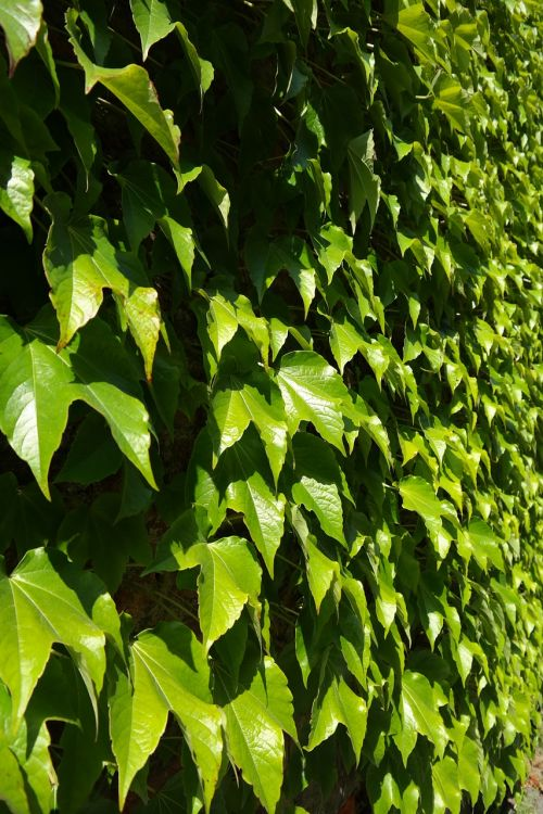 leaves greening wall