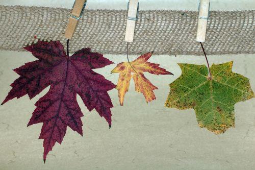 leaves maple maple leaves