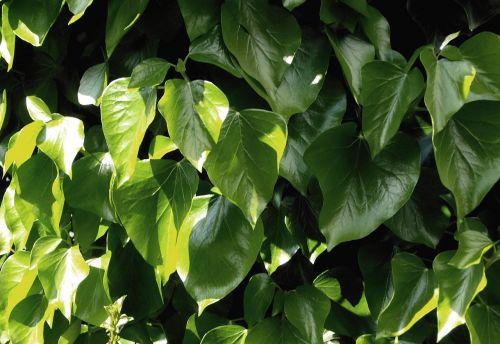 leaves light sun