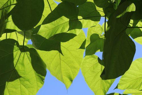 lapai,žalias,gamta,mėlynas,dangus,žalias lapas